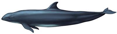 Falsa Orca