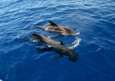 short finned pilot whales