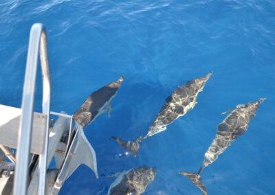 picarus dolphin